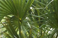 Fan palms. Stock Images