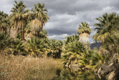 Fan Palms at an Oasis Stock Photo