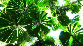 Fan palms Royalty Free Stock Images