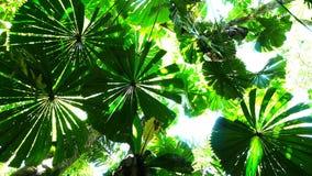 Fan palms. A panning shot of a canopy of fan palm (Licuala ramsayi) leaves stock footage