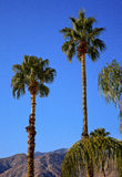 Fan Palms Trees Palm Springs California Stock Photo