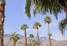 Fan Palms Trees Palm Springs California Stock Images