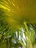 Fan palms. Up close view of multiple palms Stock Images