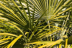 Fan plant. Spikey fan like plant with long pointy tips stock image