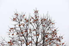 Fan-shaped crown without the leaves, and full of persimmon Royalty Free Stock Images