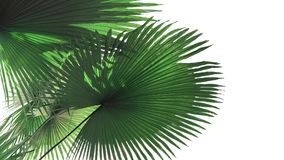 Fan-shaped green leaves with light and shadow of White Elephant. Palm or King Thai Palm Kerriodoxa elegans the rare tropical rainforest plant isolated on white Royalty Free Stock Image
