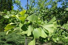 Fan-shaped leaves of ginkgo biloba tree. Fan shaped leaves of ginkgo biloba tree Royalty Free Stock Images