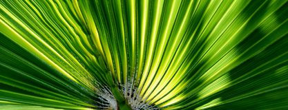 Fan shaped Palm leaf Royalty Free Stock Photography