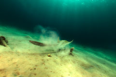 Fan tail stingray in the Red Sea. Stock Photography