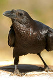 Fan-tailed raven Stock Photos