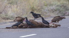 Fan-tailed Ravens on Carcass. Fan-tailed Ravens, Corvus rhipidurus and Hooded vultures, Necrosyrtes monachus, are feeding from carcass of cattle in Ethiopia royalty free stock image