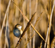 Fan-tailed Warbler. A tiny Fan-tailed Warbler appears among the dense reed of the Delta del Ebre nature park lagoons in northeast Spain Royalty Free Stock Photo