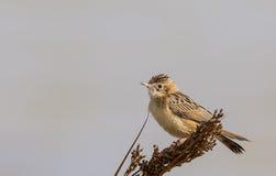 Fan-tailed warbler Stock Photo