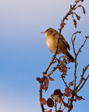 A Fan-tailed Warbler on a dry bush Stock Image