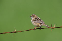 Fan-tailed warbler or Zitting cisticola, Euthlypis lachrymosa Stock Image