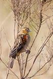 Fan tailed Widowbird Royaltyfri Foto