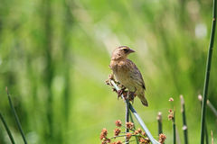 The Fan-tailed Widowbird Euplectes axillaris Royalty Free Stock Photography