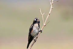 The Fan-tailed Widowbird - Euplectes axillaris Royalty Free Stock Photography