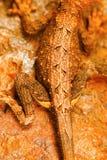 Fan throated jaszczurka, Sitana sp , Bhoramdeo przyrody sanktuarium, Chhattisgarh Zdjęcia Stock