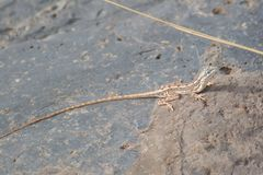 Fan-throated Lizard Female Stock Image