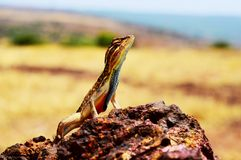 Fan throated lizard, Sitana ponticeriana, Satara district, Maharashtra, India royalty free stock photography