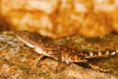 Fan throated lizard, Sitana sp., Barnawapara WLS, Chhattisgarh royalty free stock photography