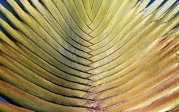 The fan of a travelers palm Royalty Free Stock Image