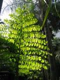 Fan Tree. Leaves of tree shaped like a fan Stock Images
