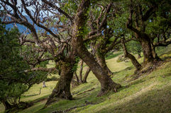 Fanal old forest and popular hiking spot at Madeira island Royalty Free Stock Images