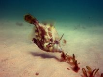 Fanbelly Leatherjacket Image stock