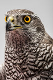 Fanciers hawk. Stock Photos