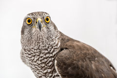 Fanciers hawk. Borwn hawk portrait isolated on white background Royalty Free Stock Photos