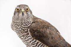 Fanciers hawk. Borwn hawk portrait isolated on white background stock image