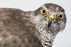 Fanciers hawk. Stock Photography