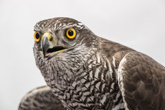 Fanciers hawk. Royalty Free Stock Photo