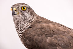 Fanciers hawk. Royalty Free Stock Images