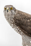 Fanciers hawk. Stock Images