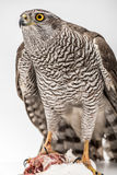 Fanciers hawk. Royalty Free Stock Image