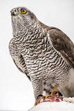 Fanciers hawk. Hawk hunting a white pigeon on white background Royalty Free Stock Photography