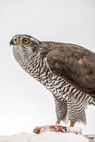 Fanciers hawk. Royalty Free Stock Photography