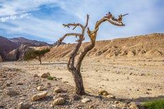 Fancifully wyginający się wysuszony drzewo Obraz Stock