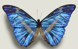 Fancy blue butterfly. With iridescent wings Royalty Free Stock Image