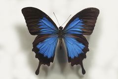 Fancy blue butterfly Royalty Free Stock Photos