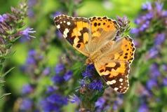 Fancy butterfly Vanessa cardui Stock Image
