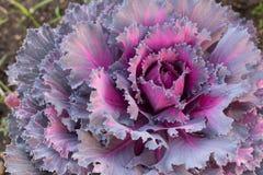 Fancy cabbag Royalty Free Stock Photos