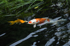 Fancy carp breathe. Fancy carp fish breathe on surface of the water Royalty Free Stock Photos