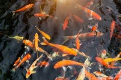 Fancy carp or Called Koi fish swimming in carp pond. Many Fancy carp or Called Koi fish swimming in carp pond stock photos