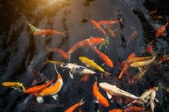 Fancy carp or Called Koi fish swimming in carp pond. Many Fancy carp or Called Koi fish swimming in carp pond stock image
