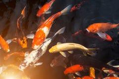 Fancy carp or Called Koi fish swimming in carp pond. Many Fancy carp or Called Koi fish swimming in carp pond stock photo