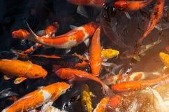 Fancy carp or Called Koi fish swimming in carp pond. Many Fancy carp or Called Koi fish swimming in carp pond royalty free stock image